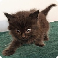 Adopt A Pet :: Evie - Dumfries, VA