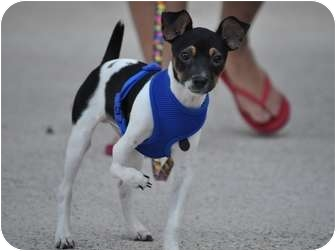 Rat Terrier/Fox Terrier (Toy) Mix Dog for adoption in Baytown, Texas - Charlie