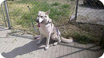 Husky Mix Dog for adoption in Yuba City, California - Thor