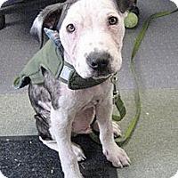 Adopt A Pet :: Simon - Reisterstown, MD