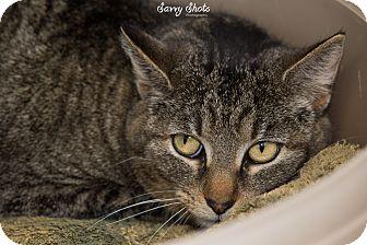 Domestic Shorthair Cat for adoption in Greensburg, Pennsylvania - Lydia