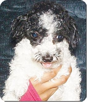 Poodle (Toy or Tea Cup) Puppy for adoption in Fairview Heights, Illinois - Derby