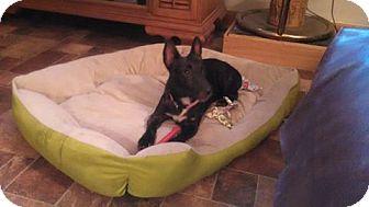 Terrier (Unknown Type, Medium)/Miniature Pinscher Mix Dog for adoption in Nixa, Missouri - Shelley # 921