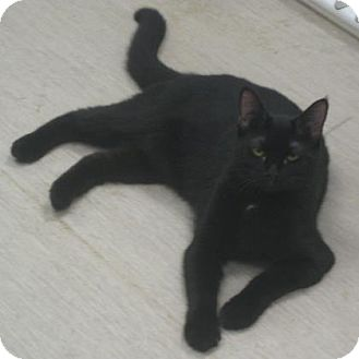 Domestic Shorthair Cat for adoption in Gary, Indiana - Sophia