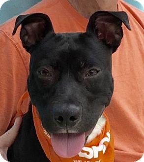 American Staffordshire Terrier Mix Dog for adoption in Evansville, Indiana - Sprocket
