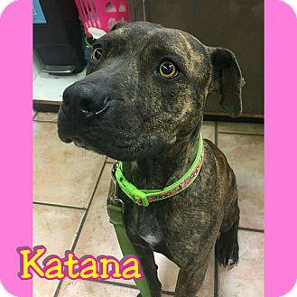 Pit Bull Terrier Mix Dog for adoption in Mesa, Arizona - Katana