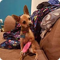 Adopt A Pet :: Pepper-pending adoption - Manchester, CT