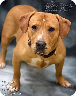 Basset Hound/Labrador Retriever Mix Dog for adoption in Newnan City, Georgia - Dycember