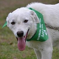 Akbash/Labrador Retriever Mix Dog for adoption in Whitewright, Texas - Gunnar