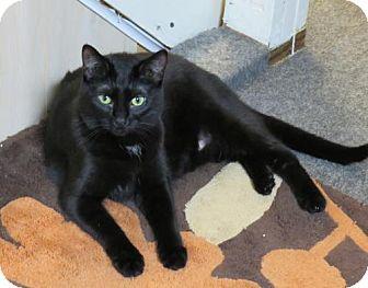 Domestic Shorthair Cat for adoption in Ellicott City, Maryland - .Little Bo Peep