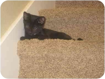 Domestic Shorthair Kitten for adoption in Davis, California - Diggory