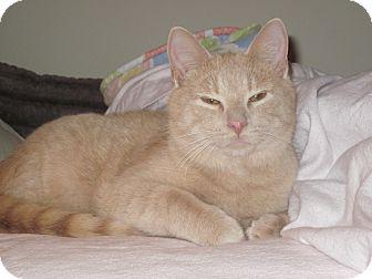 Domestic Shorthair Kitten for adoption in Speonk, New York - Kodi