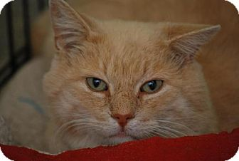 Polydactyl/Hemingway Cat for adoption in Trevose, Pennsylvania - Sandy