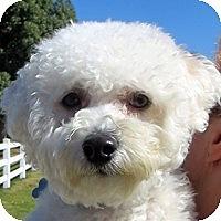 Adopt A Pet :: Bodi - La Costa, CA