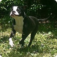 Adopt A Pet :: Stripes ADOPTION PENDING!! - Antioch, IL