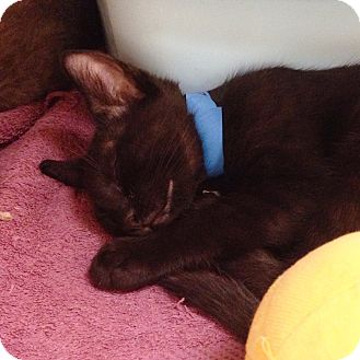 Domestic Shorthair Kitten for adoption in Dallas, Texas - JC