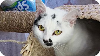 Domestic Shorthair Cat for adoption in Owenboro, Kentucky - SMILEY!