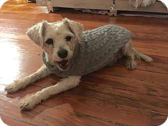 Terrier (Unknown Type, Small)/Poodle (Miniature) Mix Dog for adoption in Denver, Colorado - Betsy