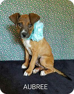 Dachshund Mix Puppy for adoption in Troutville, Virginia - Aubree