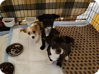 Poodle (Miniature)/Chihuahua Mix Puppy for adoption in Los Angeles, California - Puppies!!