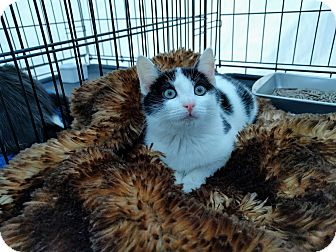 American Shorthair Kitten for adoption in Brooklyn, New York - Shortstop