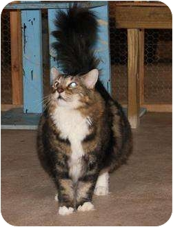 Maine Coon Cat for adoption in Metairie, Louisiana - Juliette