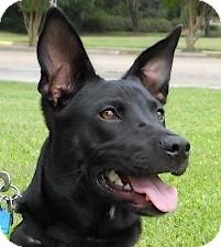 Labrador Retriever/Whippet Mix Dog for adoption in Kingwood, Texas - Sally