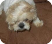 Shih Tzu Dog for adoption in Antioch, Illinois - Wags
