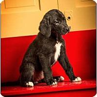 Adopt A Pet :: Shirley - Owensboro, KY