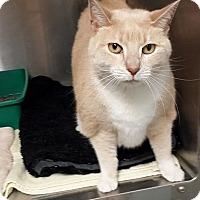 Adopt A Pet :: Lilah - Maywood, NJ