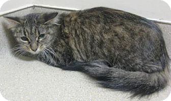Domestic Mediumhair Cat for adoption in Gary, Indiana - Momma