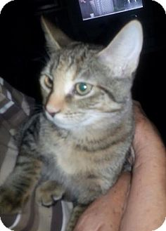 Domestic Shorthair Cat for adoption in Mobile, Alabama - *PK (& see Fluffy)