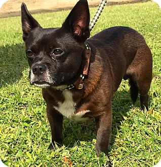 French Bulldog/Chihuahua Mix Dog for adoption in Ft Myers Beach, Florida - Funny looking Boy!!!