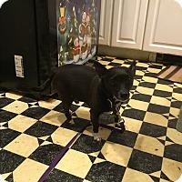 Rat Terrier Dog for adoption in Wrightsville, Pennsylvania - Harley