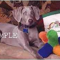 Weimaraner Puppy for adoption in Las Vegas, Nevada - LVWCR FOSTERS NEEDED
