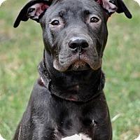 Adopt A Pet :: Sheba - Coeburn, VA