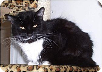 Domestic Mediumhair Cat for adoption in El Cajon, California - July