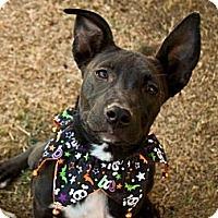Adopt A Pet :: Darby - Gilbert, AZ