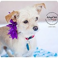 Adopt A Pet :: Coa Coa - Shawnee Mission, KS