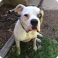 American Bulldog Dog for adoption in Dallas, Texas - zzRigley