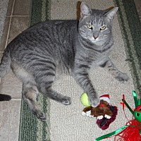 American Shorthair Cat for adoption in Winchester, Virginia - Tater