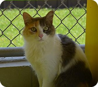 Calico Cat for adoption in New Iberia, Louisiana - Lara