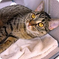 Domestic Shorthair Cat for adoption in Pittsburgh, Pennsylvania - Ginger