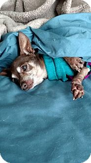 Chihuahua Mix Dog for adoption in San Diego, California - Wiley