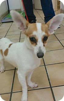 Chihuahua/Dachshund Mix Dog for adoption in Seattle, Washington - Holly - She Needs a Great Home!