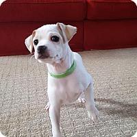 Adopt A Pet :: Amari Cooper - Pendleton, NY