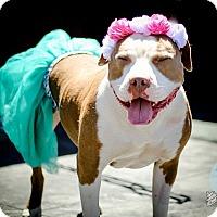 Pit Bull Terrier Dog for adoption in Redondo Beach, California - Ooooooh LaLa!!