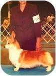 Corgi Dog for adoption in Inola, Oklahoma - Paige