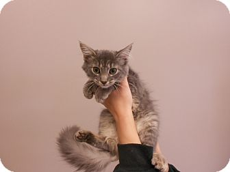 Domestic Mediumhair Kitten for adoption in Maywood, New Jersey - Polly