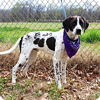 Pointer Mix Dog for adoption in Muldrow, Oklahoma - Frasier